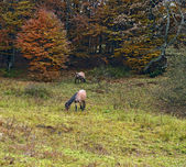 Horses grazing in a forest in autumn — Stock Photo