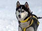 Husky hunden — Stockfoto