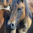 Carpathian horse on the farm — Stock Photo