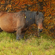 Carpathian horse on the farm — Stockfoto