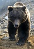Brown bear — 图库照片