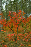 Antastic forest with Cotinus coggygria. Autumn leaves. Crimea, — Stock Photo