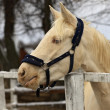 Horse - albino — Stock Photo #36457385