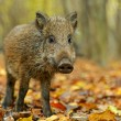 Wild boar in the forest in autumn — Stock Photo #36457503