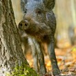 Wild boar in the forest in autumn — Stock Photo #36457519
