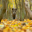 Wild boar in the forest in autumn — Stock Photo #36457533