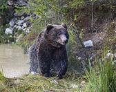 Brown bears in their natural habitat — Stock Photo