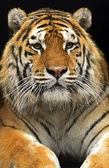 Portrait of the Amur Tiger — 图库照片