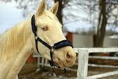 Horse - albino — Stock Photo