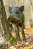Wilde zwijnen in het forest in het najaar van — Stockfoto