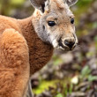 Portrait Kangaroo in nature fall — Stock Photo