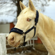 Horse - albino — Stock Photo #36840841