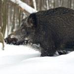 Wild boar in winter forest — Stock Photo #36840999