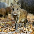 Wild boar in the forest in autumn — Stock Photo #36841063