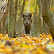 Wild boar in the forest in autumn — Stock Photo #36841081