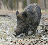 Wild boar in the forest — Stock Photo