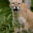 Cougar in its natural habitat — Stock Photo
