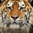 Stock Photo: Portrait of Amur Tiger
