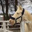 Horse - albino — Stock Photo #37282939