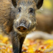 Wild boar in the forest in autumn — Stock Photo #37283153