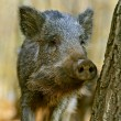 Wild boar in the forest in autumn — Stock Photo #37283181