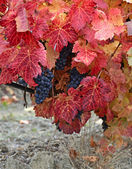 Plantation of grapes in autumn — Stock Photo