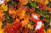 First snow on the fallen leaves — Stockfoto