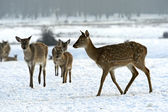 A herd of spotted deer in winter — Stock Photo