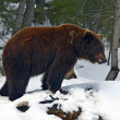 Brown bear in the woods in winter — Stock Photo #38621743