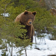 Brown bear in the woods in winter — Stock Photo #38621805