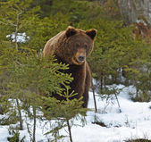 Brown bear in the woods in winter — Stock Photo