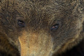 Muzzle of a brown bear close up — Stock Photo