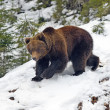 Brown bear in the woods in winter — Stock Photo #38804109