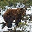 Brown bear in the woods in winter — Stock Photo #38804137