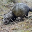 Stock Photo: Weasel