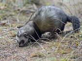 Weasel — Stock Photo