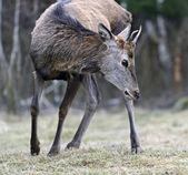 Red deer in their natural habitat — Stock Photo