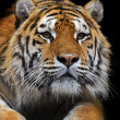 Stock Photo: Amur Tiger in summer