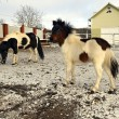 Stock Photo: Portrait of white pony in winter