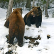 Brown bear in the woods in winter — Stock Photo #39102413