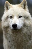 Retrato de um lobo polar — Foto Stock