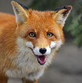 Portrait de fox dans leur habitat naturel — Photo