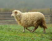 Sheep on a pasture in the fall — Stockfoto