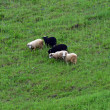 Stock Photo: Sheep grazing in pasture in spring