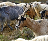 Herd of sheep on a mountain pasture — Stock Photo