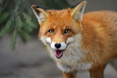 Fox portrait — Stock Photo