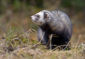 Weasel hunting for food — Stock Photo