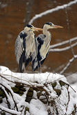 Heron in winter — Stock Photo