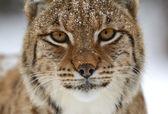 дикие рысь — Стоковое фото