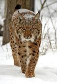 Dziki ryś — Zdjęcie stockowe